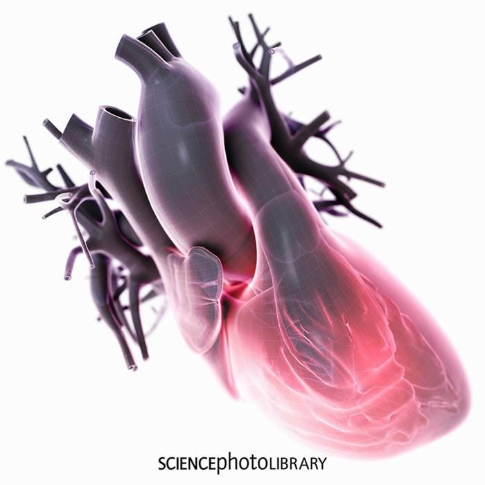Unser Herz – Motor des Lebens